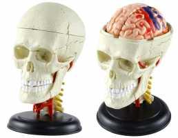 4D пазл черепа человека 96X